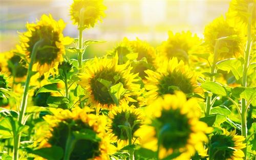 像向日葵一样生活语录 向日葵正能量语录